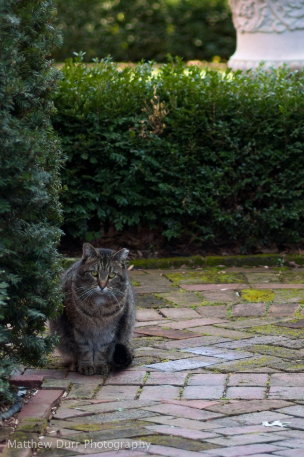 Curious Courtyard Cat105mm, ISO 100, f/2.8, 1/160 (Cropped)
