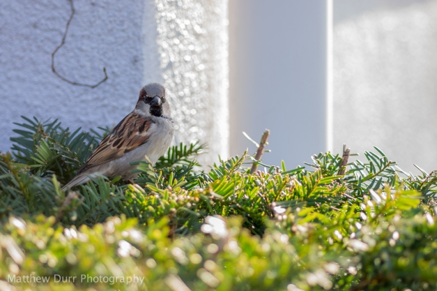 Sparrow Among the Bushes105mm, ISO 100, f/2.8, 1/80