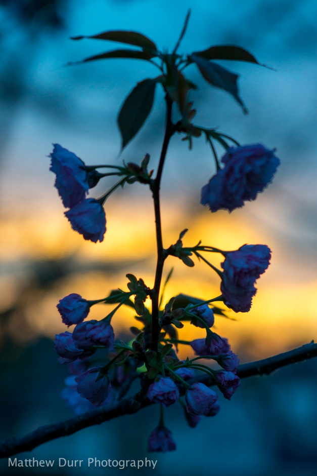 Sunset Blossoms 85mm, ISO 400, f/2.8, 1/80
