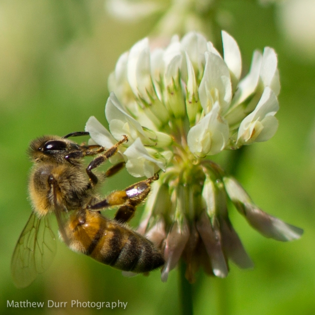 Bee on Clover 32mm, ISO 100, f/2.8, 1/2000
