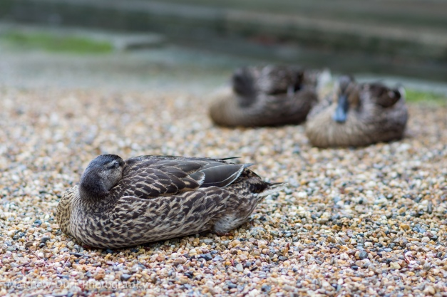 Quack Cubed (zzz) 105mm, ISO 100, f/2.8, 1/160