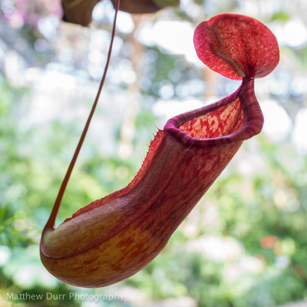Pitcher Plant 16mm, ISO 100, f/2, 1/50
