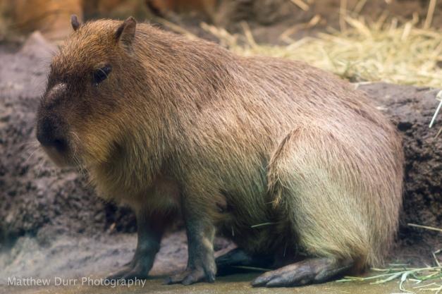 Capybara 105mm, ISO 200, f/2.8, 1/100