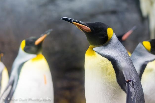 Emperor Penguin 105mm, ISO 400, f/2.8, 1/160