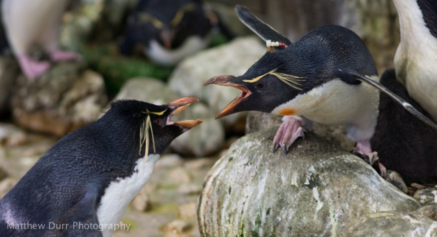 Rockhopper Penguin Squabble 105mm, ISO 400, f/2.8, 1/160